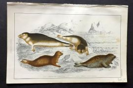 Goldsmith 1851 Hand Col Print. Common & Fetid Seal
